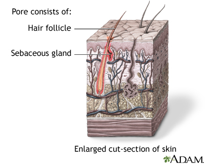Hair follicle sebaceous gland