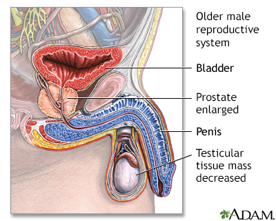 Aged male reproductive system